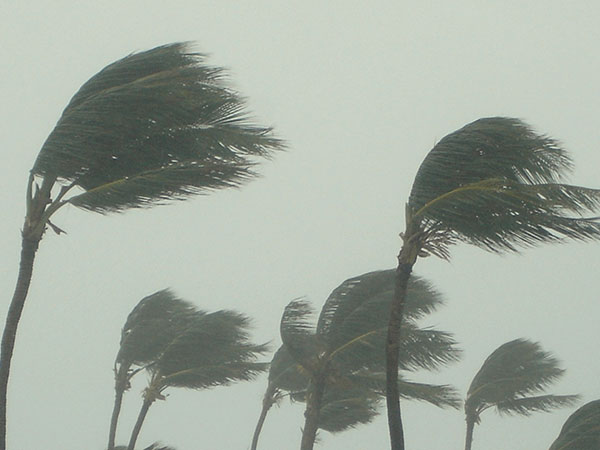 Palm Trees in Severe Storm or Hurricane